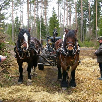 Eesti raskeveohobune ja Rootsi ardenn kõrvuti Soomes metsatöödel
