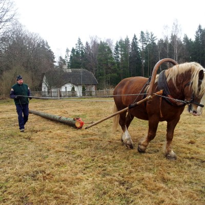 Ennu Tšerjnavski eesti raskeveohobusega palki vedamas