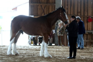 Šairi hobune